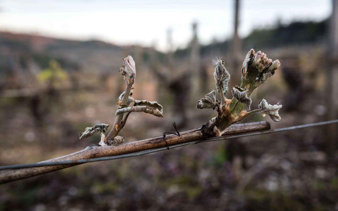 Gel du vignoble : solidarité avec nos vignerons
