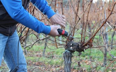 La taille de la vigne après le gel
