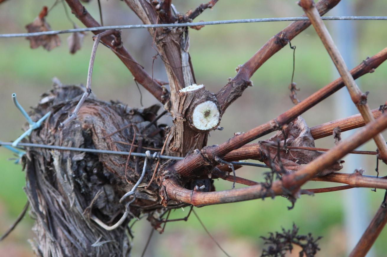 UG Bordeaux taille de vigne gelée 3